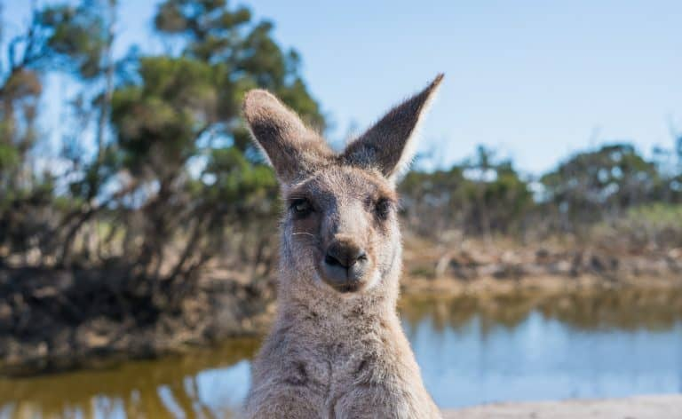 shallow-focus-photo-of-kangaroo-2122423